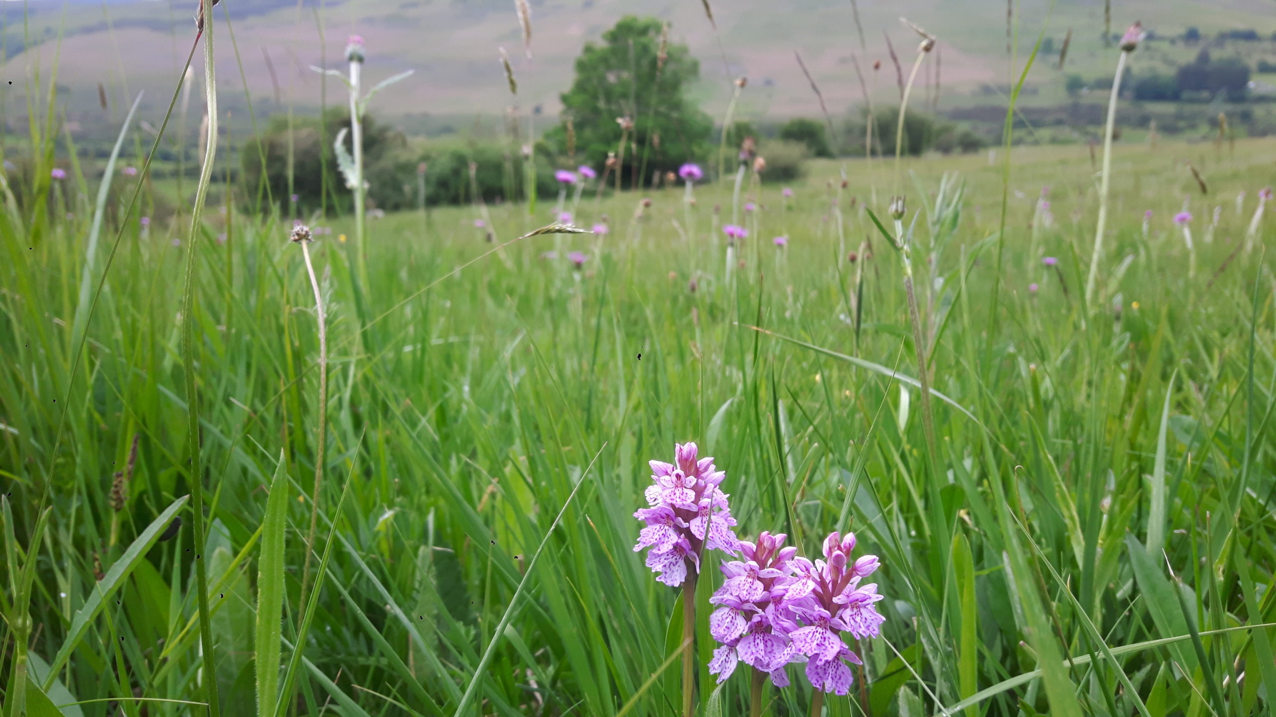 Molinia meadow by Maria Long