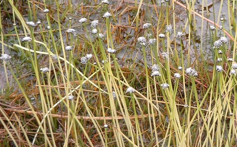 Eriocaulon aquaticum (Pipewort) by Stephen Bungard