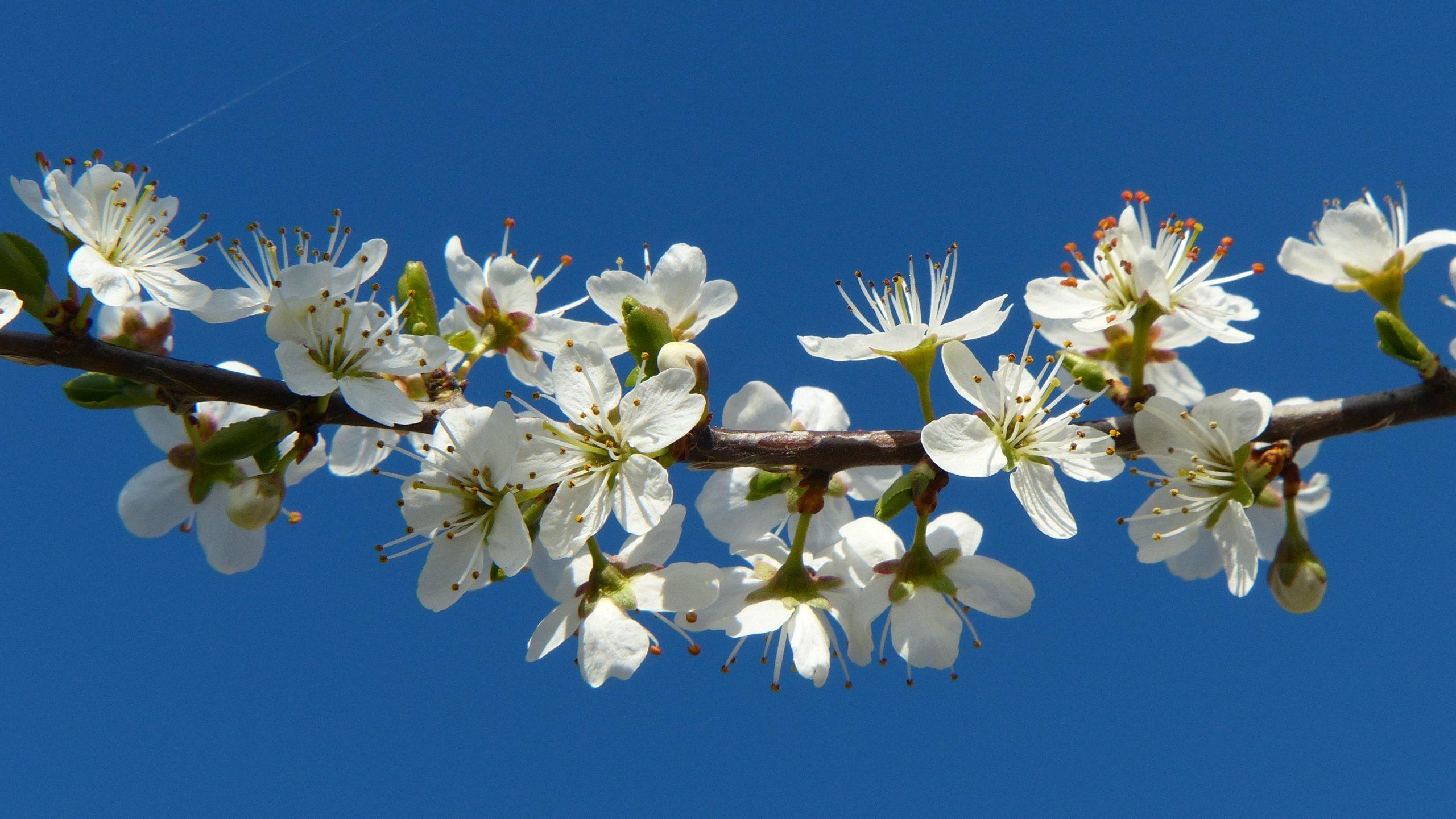 Blackthorn (Prunus spinosa) by Mike Beard