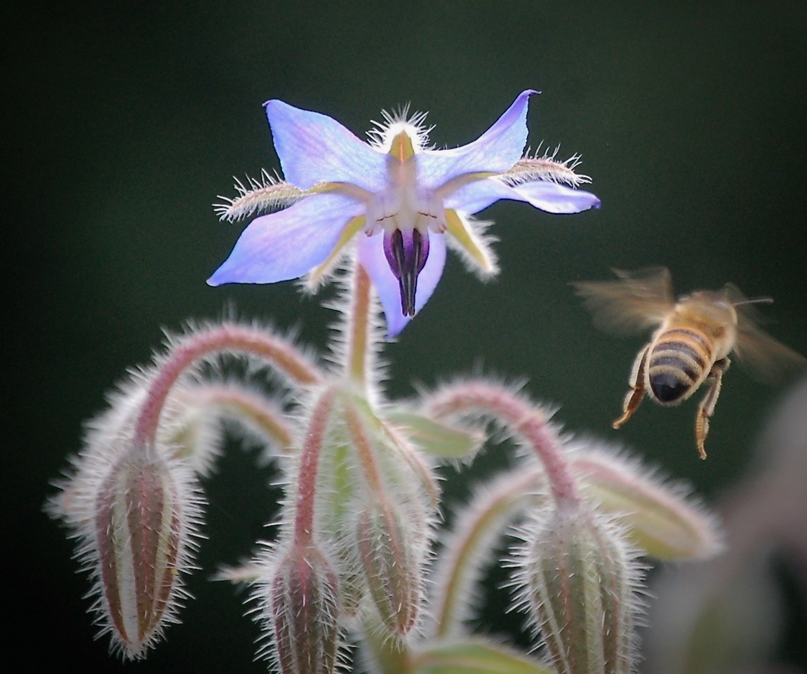Borage (Borago officinalis) by Boots Hackman